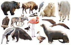 Комплект североамериканских изолированных животных Стоковое фото RF