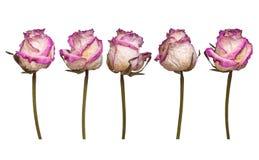 Комплект сухой белой и розовой розы изолированной на белой предпосылке Взгляд от нескольких сторон Стоковые Фотографии RF