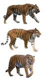 Комплект 3 тигров изолированных на белизне стоковое изображение