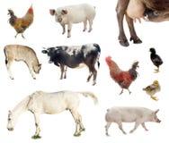 комплект фермы животных цыпленок, свинья, корова Стоковые Изображения