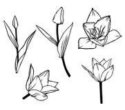 Комплект цветка тюльпана контура красивый бесплатная иллюстрация