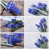 Комплект цветка muscari фото красивого голубого стоковые изображения rf