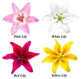 Комплект 4 цветков лилии Стоковые Изображения
