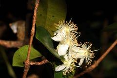 Комплект цветков Pitangueira стоковое фото rf