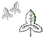 Комплект чертежа вектора лист Изолированные листья дерева Травяная выгравированная иллюстрация стиля Органический эскиз продукта  Стоковое фото RF