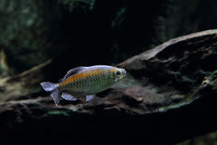 Конго tetra Стоковое фото RF