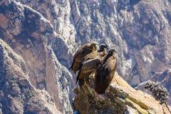 3 кондора на усаживании каньона Colca, Перу, Южная Америка Это кондор самая большая летящая птица на земле Стоковое Изображение