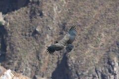 кондор каньона Стоковые Изображения RF