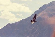 кондор Стоковая Фотография RF