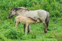 Конематка дикой лошади женская с подавая лошадью младенца Стоковые Фотографии RF