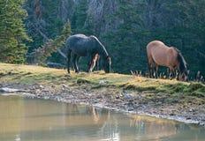 Конематка жеребца и серовато-коричневого цвета залива каштана печени Roan пася рядом с waterhole в ряде дикой лошади гор Pryor в  Стоковые Изображения RF
