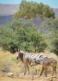 Конематка зебры с осленком в одичалом кусте Стоковые Изображения RF