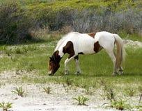 Конематка дикой лошади Assateague Стоковое фото RF