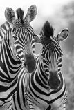 Конематка и осленок зебры стоя близко друг к другу в кусте для безопасности a Стоковые Фото