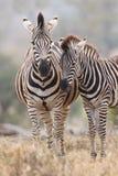 Конематка и осленок зебры стоя близко друг к другу в кусте для безопасности Стоковое Изображение RF