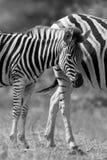 Конематка и осленок зебры стоя близко друг к другу в кусте для безопасности a Стоковые Изображения RF