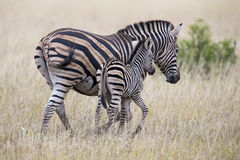 Конематка и осленок зебры стоя близко друг к другу в кусте для безопасности Стоковые Изображения RF