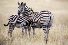 Конематка и осленок зебры стоя близко друг к другу в кусте для безопасности Стоковые Фото