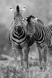 Конематка и осленок зебры стоя в кусте Стоковая Фотография