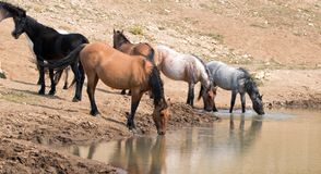Конематка лосиной кожи серовато-коричневого цвета выпивая на waterhole с табуном диких лошадей в ряде дикой лошади гор Pryor в Мо Стоковое Изображение