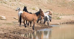 Конематка лосиной кожи серовато-коричневого цвета с табуном диких лошадей на waterhole в ряде дикой лошади гор Pryor в Монтане СШ Стоковая Фотография