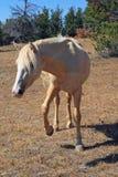 Конематка Palomino мустанга дикой лошади штемпелюя ее ноги на Tillett Ридже в горах Pryor на Вайоминге Монтане США Стоковые Изображения RF