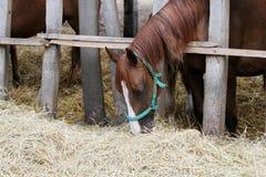 Конематки и ослята есть сено на скотном дворе Стоковое Фото