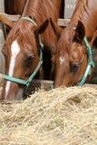 Конематки каштана есть сено на ранчо Стоковые Изображения RF