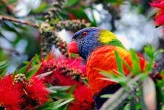 Конец Австралии вверх радуги Lorikeet стоковые фото