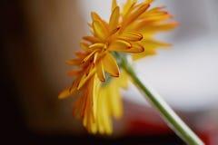 Конец апельсина Gerbera вверх Свежесть цветка в floristry Стоковые Фотографии RF