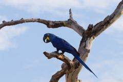 Конец ары гиацинта вверх, бразильская живая природа Стоковые Фотографии RF