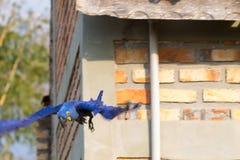 Конец ары гиацинта вверх, бразильская живая природа Стоковые Изображения