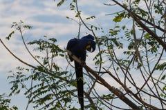 Конец ары гиацинта вверх, бразильская живая природа Стоковые Изображения RF