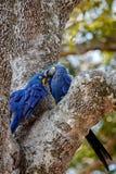 Конец ары гиацинта вверх на пальме в среду обитания природы Стоковая Фотография