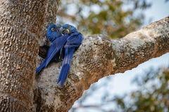 Конец ары гиацинта вверх на пальме в среду обитания природы Стоковая Фотография RF