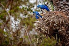 Конец ары гиацинта вверх на пальме в среду обитания природы Стоковые Изображения