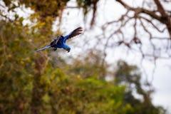 Конец ары гиацинта вверх на пальме в среду обитания природы Стоковое Фото