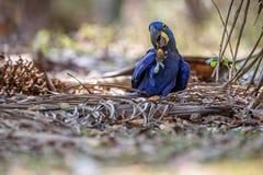 Конец ары гиацинта вверх на пальме в среду обитания природы Стоковое Изображение RF