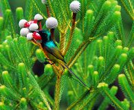 Конец Африки вверх оранжевого Breasted Sunbird стоковое изображение
