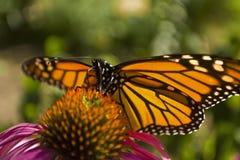 Конец бабочки монарха вверх на цветке эхинацеи Стоковое Изображение RF