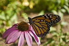 Конец бабочки монарха вверх по профилю на цветке эхинацеи Стоковое фото RF