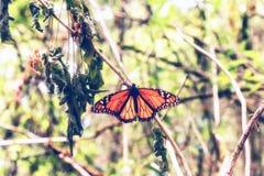Конец бабочки монарха вверх Стоковое Изображение RF