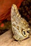 Конец бабочки сыча вверх Стоковые Изображения RF