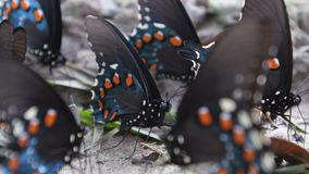 Конец бабочки swallowtail Pipevine вверх видеоматериал