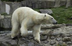 Конец белизны portret полярного медведя вверх Стоковые Изображения
