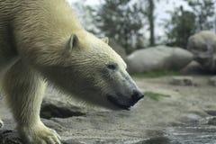 Конец белизны portret полярного медведя вверх Стоковые Фото