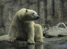 Конец белизны portret полярного медведя вверх Стоковые Фотографии RF