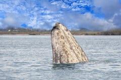 Конец белого кита вверх в океане Стоковое фото RF