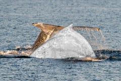 Конец белого кита вверх в океане Стоковая Фотография RF