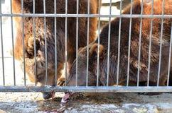 Конец бурого медведя фото вверх Стоковые Фотографии RF